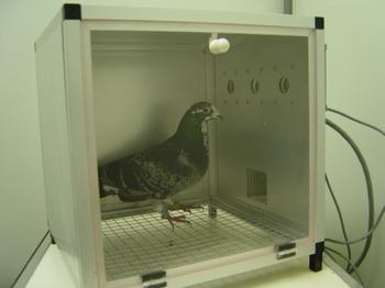 PigeonSkinner.JPG